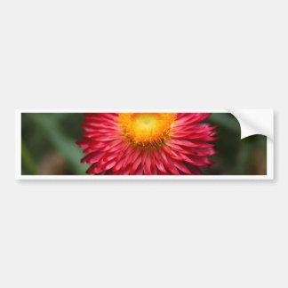Strawflower (Xerochrysum bracteatum) Bumper Sticker