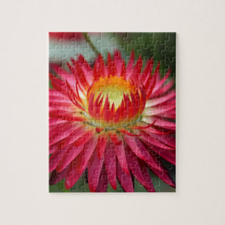 Strawflower (Xerochrysum bracteatum) Puzzles
