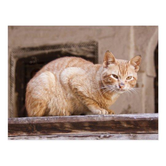 Stray cat in Fes medina, Morocco 2 Postcard