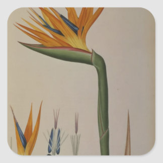 Strelitzia Reginae, from 'Les Strelitziacees' Square Sticker