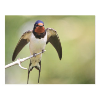 Stretching Swallow Postcard