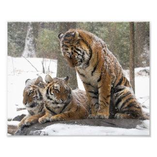 Stretching Tiger Photo Print