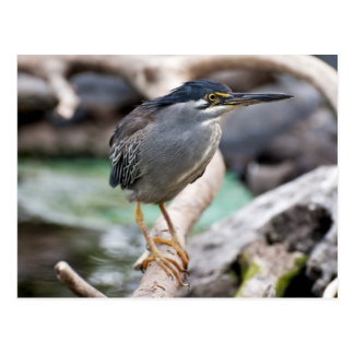 Striated heron postcard
