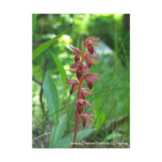 """Striped Coralroot Orchid Canvas 16"""" x 20"""""""