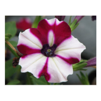 Stripped Purple Petunia Postcard