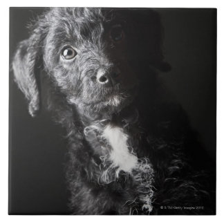 Studio portrait of black jack-a-doodle tile