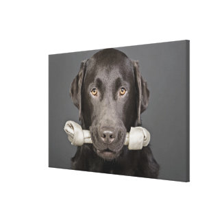 Studio portrait of chocolate labrador carrying canvas print