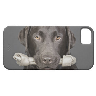 Studio portrait of Chocolate Labrador iPhone 5 Covers
