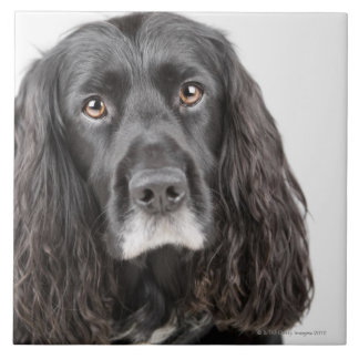 Studio portrait of cocker spaniel tile