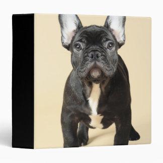Studio portrait of French bulldog puppy standing Binder
