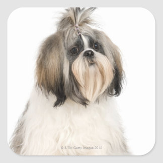Studio portrait of Shih Tzu Square Sticker