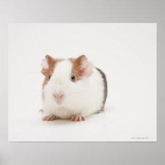 Studio shot of Guinea Pig Poster