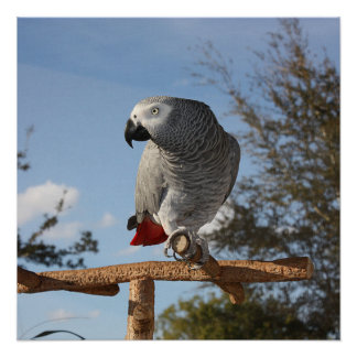 Stunning African Grey Parrot Perfect Poster