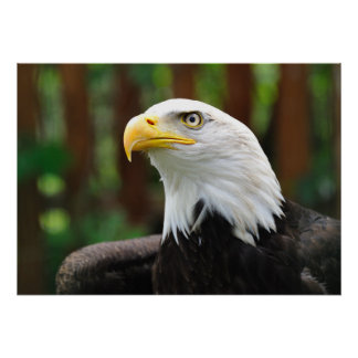 Stunning BALD EAGLE Patriotic American USA Bird Poster