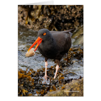 Stunning Black Oystercatcher with Clam Card