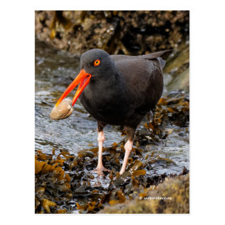 Stunning Black Oystercatcher with Clam Postcard