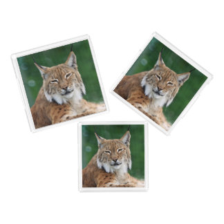 Stunning bobcat portrait acrylic tray
