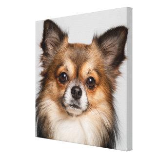 Stunning chihuahua portrait canvas print