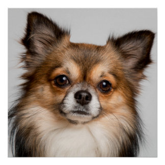 Stunning chihuahua portrait poster