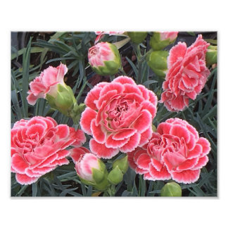 Stunning Dianthus Photo