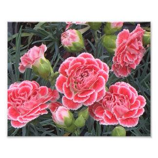 Stunning Dianthus Photo Print