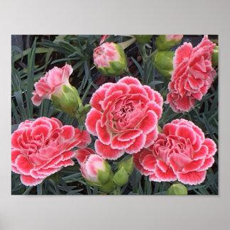 Stunning Dianthus Poster