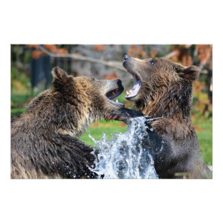Stunning grizzly bears playing photo print