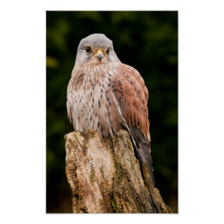Stunning kestrel sat on a tree stump poster