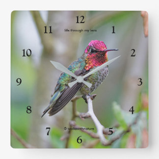 Stunning Male Anna's Hummingbird on the Plum Tree Wallclocks
