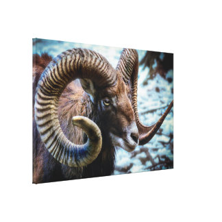 Stunning Mouflon Wild Sheep Canvas Print
