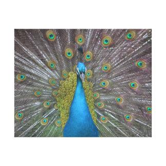 Stunning Peacock Canvas Print