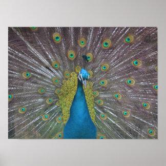Stunning Peacock Poster
