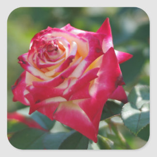 Stunning Red Rose Square Sticker