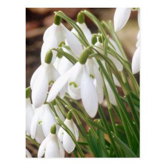 Stunning Spring Snowdrops Postcard