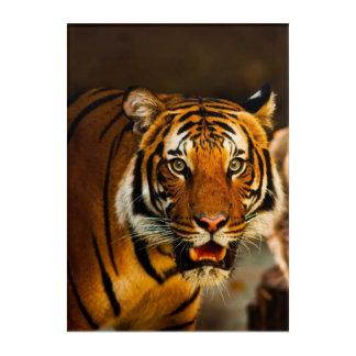 Stunning tiger portrait acrylic print