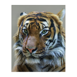 Stunning tiger portrait acrylic wall art