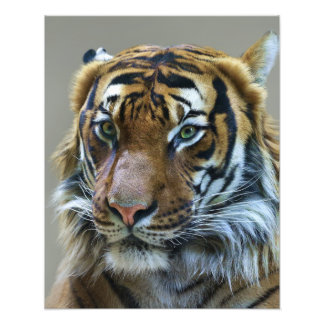 Stunning tiger portrait photo