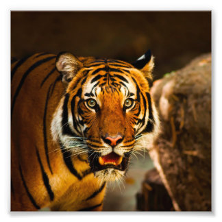 Stunning tiger portrait photographic print