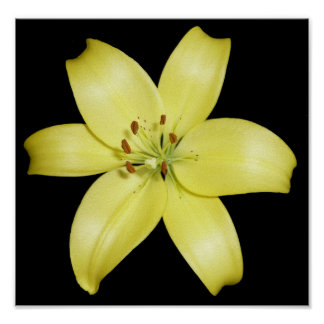Stunning Yellow Lily Poster