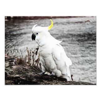 Sulphur-Crested Cockatoo Photo Print