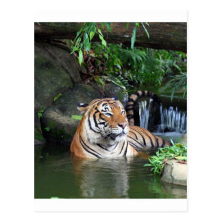 Sumatra tiger postcard