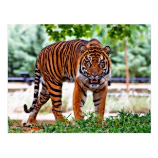 Sumatran Tiger beautiful photo Postcard