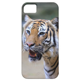 Sumatran Tiger iPhone 5 Cover