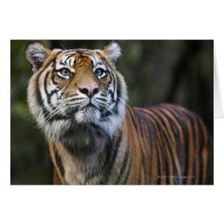 Sumatran Tiger (Panthera tigris sumatrae) in Card