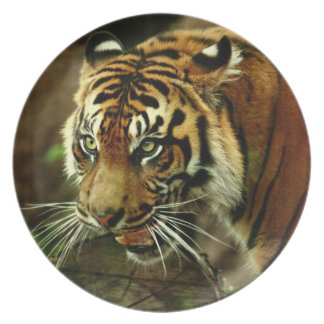 Sumatran Tiger Plate
