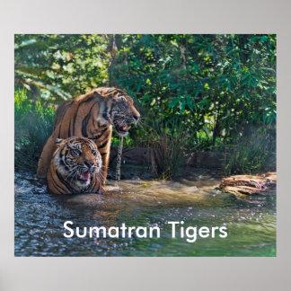 Sumatran Tigers Print