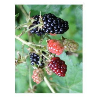 Summary Description Blackberries in a range of rip Postcard