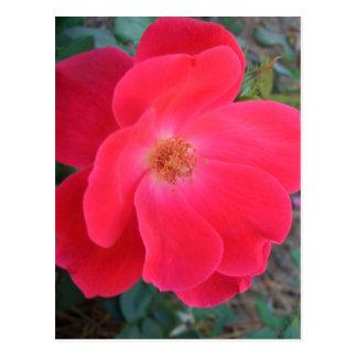 Summer's Red Rose CricketDiane Designer Postcard