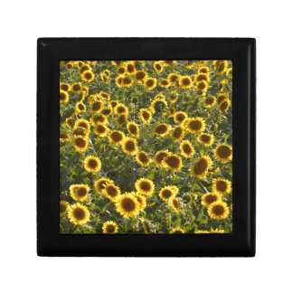 _sun flower field gift box
