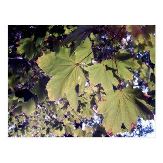 Sun shining through the leaves postcard